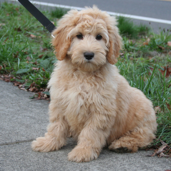 Signature Labradoodles Home Page